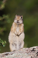 Wyoming Ground Squirrel,Spermophilus elegans,adult on rock,Rocky Mountain National Park, Colorado, USA
