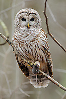a baared owl with prey (mouse)