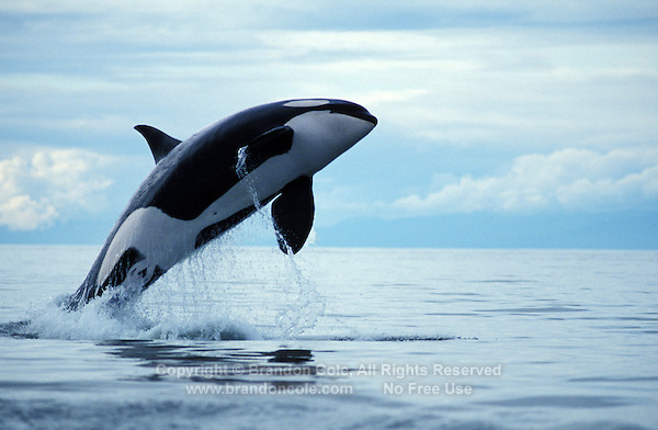 jy1126. Orca or Killer Whale, (Orcinus orca). British Columbia, Canada, Pacific Ocean..Photo Copyright © Brandon Cole. All rights reserved worldwide.  www.brandoncole.com..This photo is NOT free. It is NOT in the public domain. This photo is a Copyrighted Work, registered with the US Copyright Office. .Rights to reproduction of photograph granted only upon payment in full of agreed upon licensing fee. Any use of this photo prior to such payment is an infringement of copyright and punishable by fines up to  $150,000 USD...Brandon Cole.MARINE PHOTOGRAPHY.http://www.brandoncole.com.email: brandoncole@msn.com.4917 N. Boeing Rd..Spokane Valley, WA  99206  USA.tel: 509-535-3489