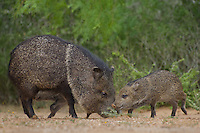 650520319 wild javelinas or collared peccaries dicolytes tajacu forage near a waterhole on santa clara ranch in starr county rio grande valley texas united states