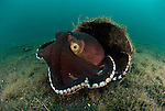 Coconut octopus or the veined octopus (Octopus marginatus) ready to flee from its coconut shell home.