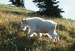Mountain goat, Olympic National Park, Washington, USA