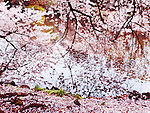 Blossoming cherry tree branches touching water, artisic colorful photo. Shinjuku Gyoen National Garden in Tokyo Japan