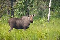 Cow moose feeds in tundra pond, Fairbanks, Alaska