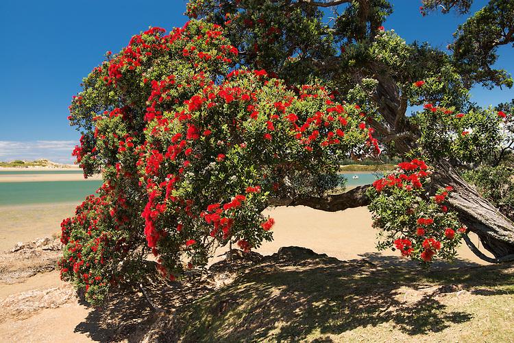 Pohutukawa tree in full bright red bloom on the Tutukaka Coast, Northland, New Zealand - stock photo, canvas, fine art print