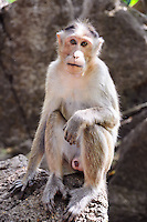 Wild baby-monkey sitting on stone and looking directly into the camera
