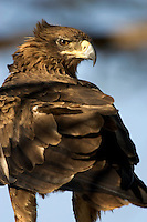 Portrait of a tawny eagle, Kenya, Africa