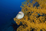 Chambered nautilus in yellow soft coral