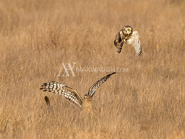 This image is heavily cropped, but I felt it was worth sharing.  Northern harriers often harass short-eared owls and steal their prey.  Here, the two combatants can be seen with the owl's stolen prize flying off to the left of the harrier.