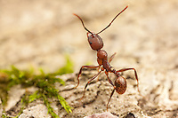 A Spine-waisted Ant (Aphaenogaster fulva) explores the surface of a fallen dead tree.