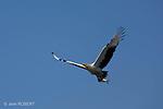 Palm-nut Vulture.Palmiste africain, Gypohierax angolensis