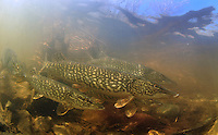 Group of Northern Pike<br />