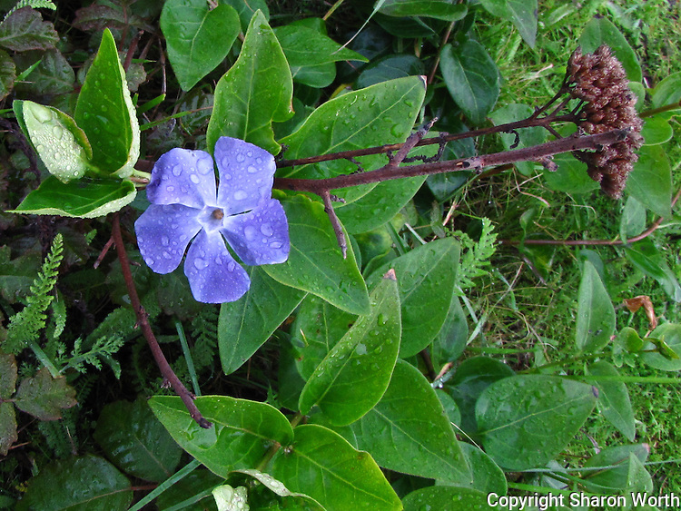 The vibrant green and brilliant, rain-dappled violet of 'life' in counterpoint with the brown, dead remnants of a plant past its prime.  Juxtaposition - Pomponio State Beach, California.