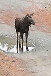 Young moose enjoying his own puddle in early spring