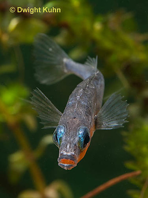 1S12-522z  Male Threespine Stickleback,  Mating colors showing bright red belly and blue eyes,  Gasterosteus aculeatus,  Hotel Lake British Columbia