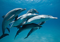 RW5012-D. Atlantic Spotted Dolphins (Stenella frontalis), interacting with each other above sandy bottom. These marine mammals are intelligent and gregarious, and develop strong social bonds with other members of their pod. Bahamas, Atlantic Ocean. <br /> Photo Copyright &copy; Brandon Cole. All rights reserved worldwide.  www.brandoncole.com