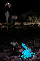 A scientist searching for Scorpions at night (Hottentotta socotrensis) with a UV light, Socotra, Yemen