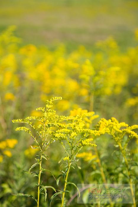 Wildflowers, Hunterdon County meadow, New Jersey