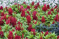 Celosia argentea cristata 'Fresh Look Red' - red flower Cockscomb, Feathered Amaranth, Plume Plant