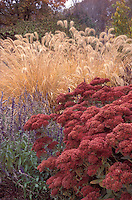 Sedum 'Autumn Fire', Salvia farinacea, & Pennisetum alopecuroides ornamental grass in fall autumn garden planting combination of russet color theme tones, annuals and perennials, fall foliage