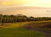 Vineyards of Ulupalakua, Maui At Sunset
