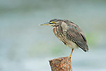 Green Heron, Butorides virescens, Panama, Central America, Gamboa Reserve, Parque Nacional Soberania, perched on post at side of lake, young, juvenile