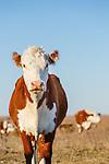 20151108 Kansas Cattle