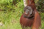Male Bornean Orangutan (Pongo pygmaeus wurmbii) - king of the jungle
