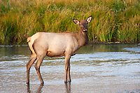 American Elk or Wapiti (Cervus canadensis) female standing in the Madison River, Yellowstone National Park, USA.