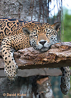 0522-1114  Sleeping Goldman's Jaguar, Belize, Panthera onca goldmani  © David Kuhn/Dwight Kuhn Photography