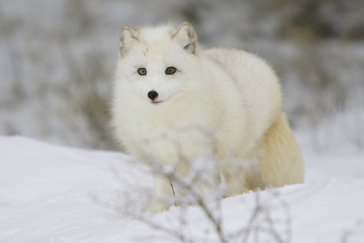 Arctic fox walking through the snow - CA
