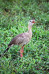 South America, Brazil, Pantanal. The Red-Legged Seriema or Crested Cariama of the Pantanal.