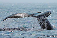 humpback whale, Megaptera novaeangliae, fluke up diving, Hawaii, USA, Pacific Ocean