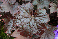 Heuchera &lsquo;Molly Bush&rsquo; perennial foliage plant with dark purple-red leaves