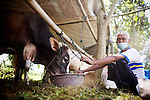 Farmers tend to their cows in a special rescue cattle camp, in Yogyakarta, Indonesia, on Wednesday, Nov. 11, 2010.