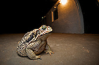 Cururu Toad sitting near a house at night (Rhinella schneideri), Esteros de Iber, Argentina