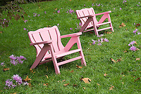Colchichum in the lawn in autumn next to pink chairs, showing wide view of grass, pink flowers, Adirondack type furniture, fallen leaves on ground
