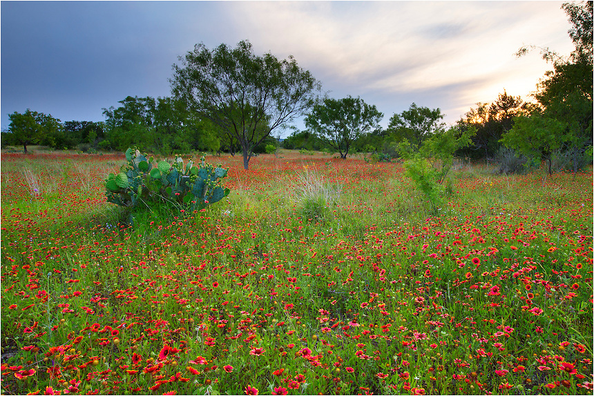 A friend of mine and I drove for 3 hours searching for Texas Wildflower fields to photograph this evening. We did not find much, as the drought in the Texas Hill Country has taken its toll on the wildflowers. However, just before sunset we were able to find this location to capture a few images of Texas wildflowers. This field just off of Highway 71 near Llano, Texas, was nearly covered in beautiful red indian blankets.