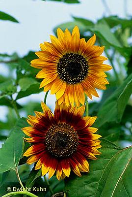 HS13-090x  Sunflower - Bellessa Dlautuno variety -  Helianthus spp