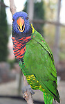 Colorful lorikeet parrot on perch looking at you