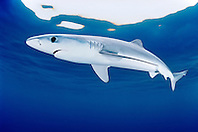 blue shark, Prionace glauca, juvenile, San Diego, California, USA, Pacific Ocean