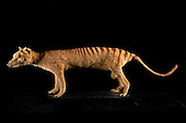 The extinct Tasmanian Tiger or Tasmanian Wolf (Thylacinus cynocephalus), the largest known carnivorous marsupial of modern times.