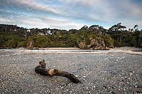 Driftwood on beach at Ship Creek near Haast, West Coast, South Westland, UNESCO World Heritage Area, New Zealand, NZ