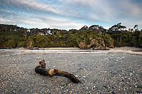 Driftwood on beach at Ship Creek near Haast, West Coast, South Westland, UNESCO World Heritage Area, New Zealand, NZ