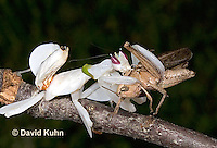 "0720-07oo  Malaysian Orchid Mantis Consuming Prey - Hymenopus coronatus ""Nymph"" - © David Kuhn/Dwight Kuhn Photography"