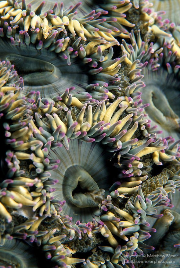 Santa Cruz Island, Channel Islands National Park and National Marine Sanctuary, California; detail view of an Aggregate Green Anemone , Copyright © Matthew Meier, matthewmeierphoto.com All Rights Reserved