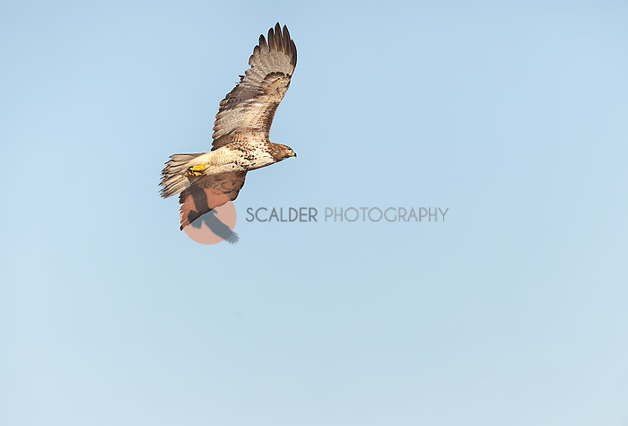 Juvenile Red-Tailed Hawk in flight against a blue sky