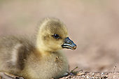 A close up image of a Greylag Gosling (Anser anser) Resting after feeding. This species is the ancestor of domesticated geese in Europe and North America.