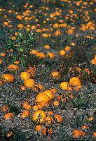 Pumpkin patch in organic farm field.