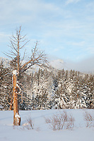 """Snowy Trees in Tahoe 1"" - These snow covered trees were photographed in the early morning at the Tahoe Meadows near the crest of Mount Rose Highway."